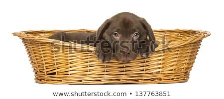 Barna kutyakölyök fonott kosár természet állatok Stock fotó © tilo