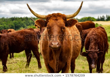 Salers cows in their pasture Stock photo © tilo