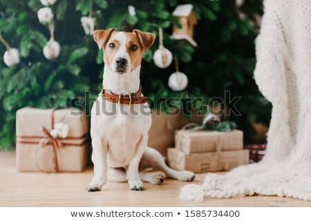Image of pedigree dog sits on floor near decorated firtree and Christmas presents, has festive mood, Stock photo © vkstudio
