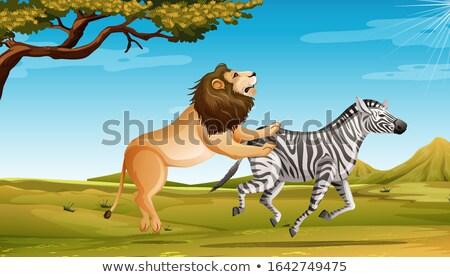 Leão caça zebra savana campo Foto stock © bluering