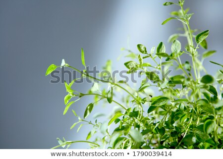 Bunch of freshly natural organic herbal plant against grey background. Stock photo © artjazz