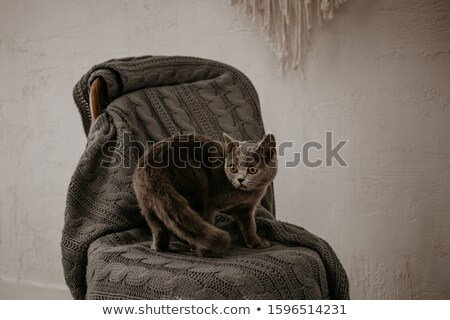 Russian blue cat sit down on old chair Stock photo © Ansonstock