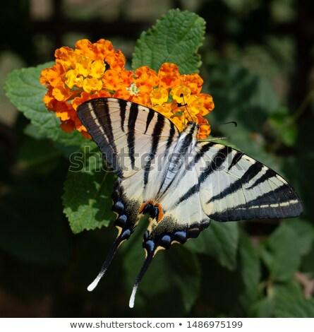 Kelebek çiçek görmek profil göz Stok fotoğraf © Musat
