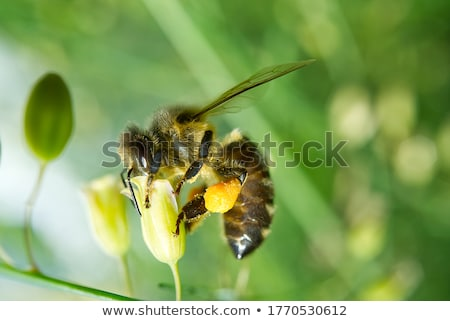 Worker Bee Collecting Pollen from Flower Stock photo © Qingwa