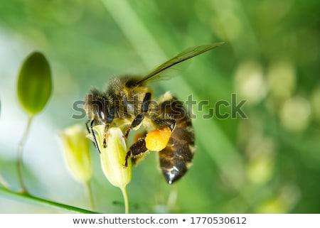 verzamelen · honing · bee · roze · bloem · schoonheid - stockfoto © qingwa