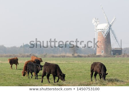 Stock photo: landscape with cows, East Anglia, England