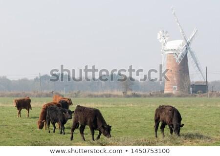 коров · Англии · животные · черный · лет · белый - Сток-фото © phbcz