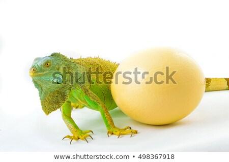 zöld · iguana · strucc · tojás · család · arc - stock fotó © pavel_bayshev