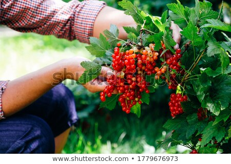 Woman with a stem of redcurrants Stock photo © photography33
