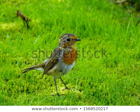 young robin stock photo © scooperdigital