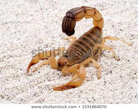 скорпион · белый · природы · красоту · ног · студию - Сток-фото © Sniperz