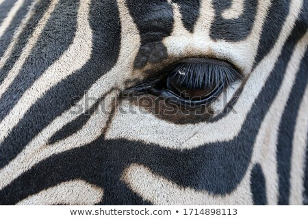 One Zebra eye stock photo © bobkeenan