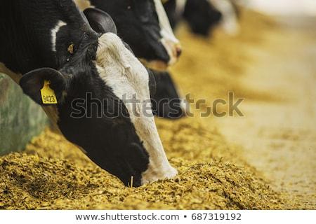 Vacche foto grande gruppo farm industria Foto d'archivio © sumners