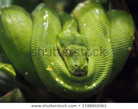Arbre vert python coup recroquevillé autour Photo stock © macropixel