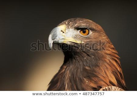 the head of golden eagle stock photo © capturelight