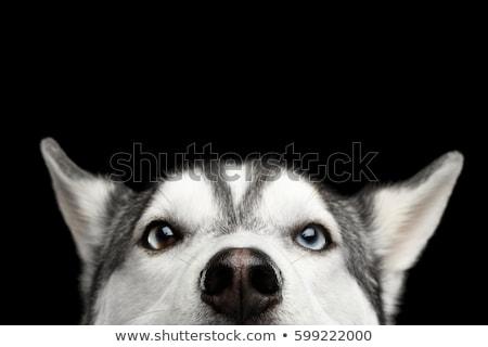 Cão rouco feliz olhos lobo preto Foto stock © mariephoto