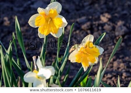 daffodil yellow and orange Stock photo © mariephoto