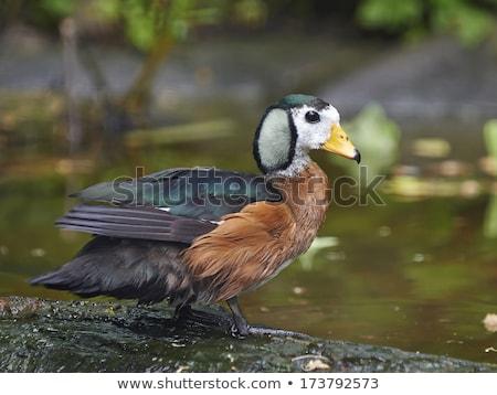 African Pygmy Goose (Nettapus auritus) Stock photo © dirkr