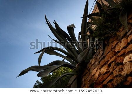 Agave suculento planta backlight teia de aranha teia Foto stock © AlessandroZocc