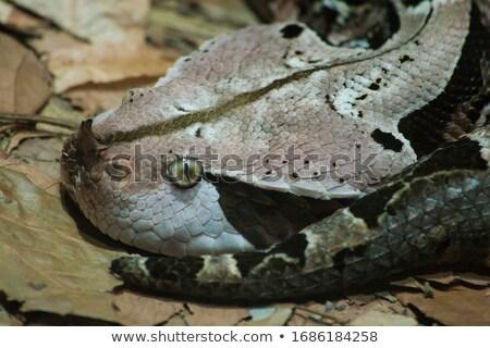 Gaboon Viper Head Shot Stock photo © bradleyvdw