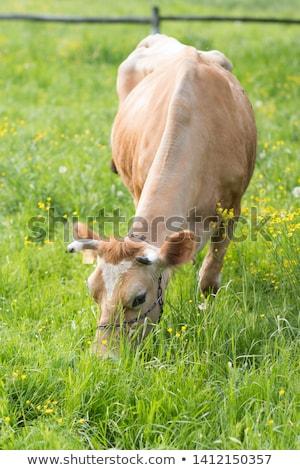 Tehén legelő tavasz zöld égbolt fű Stock fotó © tainasohlman