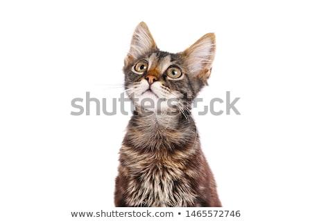 Pisi küçük kedi oynama yün Stok fotoğraf © MKucova