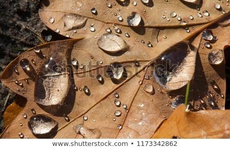 желудь капли роса дерево лес Сток-фото © g215