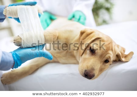 kutya · törött · láb · citromsárga · labrador · retriever · alszik · orvosi - stock fotó © ivonnewierink