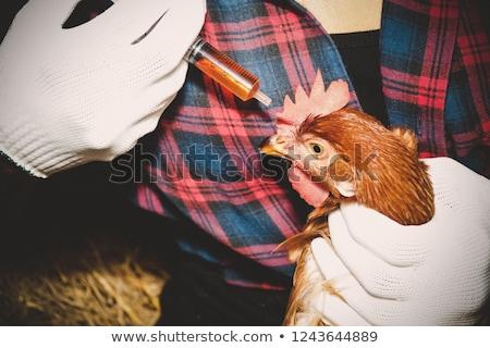 Czerwony kurczaka patrząc na zewnątrz stodoła skupić Zdjęcia stock © ryhor