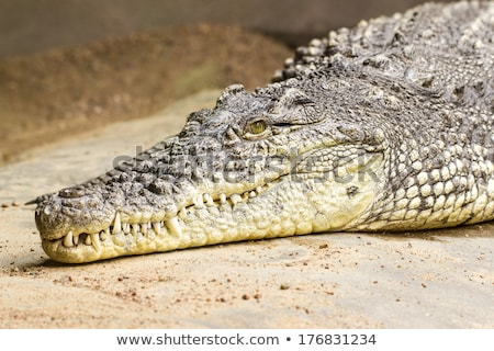 крокодила · красивой · фото · большой · зеленый - Сток-фото © sirylok