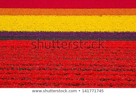 Holland tulip fields with vivid tulips Stock photo © tannjuska