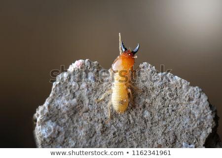 Termites in Thailand Stock photo © smuay