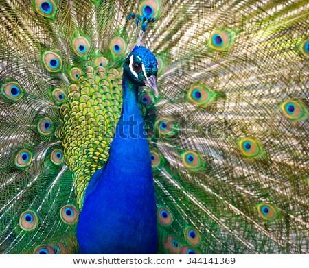 Páva mutat gyönyörű tollazat szem természet Stock fotó © anan