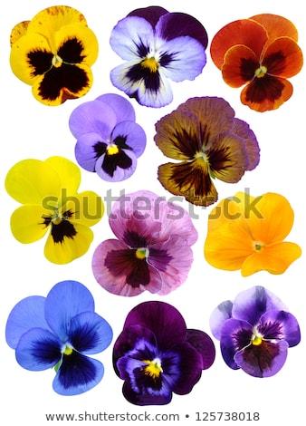 orange violet pansy flower stock photo © boroda