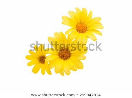 оранжевый желтый Daisy Полевые цветы изображение Focus Сток-фото © ottoduplessis