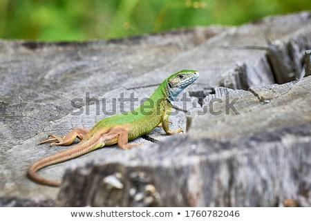 ヨーロッパの 緑 トカゲ 男性 岩 草 ストックフォト © taviphoto