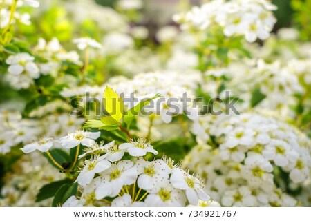 Branch of white Spiraea stock photo © vavlt