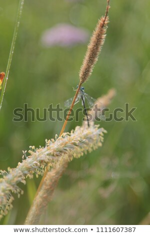beautiful petrol blue green dragonfly on a blade of grass stock photo © chrisga