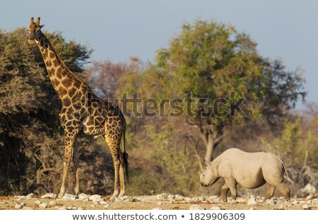 giraffa camelopardalis near waterhole stock photo © artush