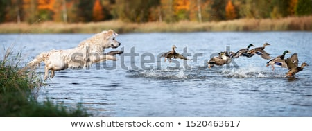Sporting dog in field. Stock photo © iofoto