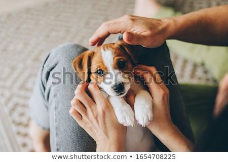 Stok fotoğraf: Küçük · köpek · yavrusu · üç · renkli · beyaz · gömlek