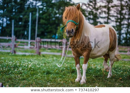 dwarf horse in stable stock photo © mady70