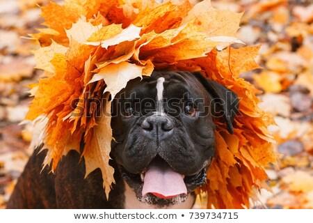 赤 ボクサー 子犬 頭 クローズアップ ストックフォト © goroshnikova