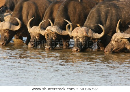 Stock photo: Drinking Buffalo bull in the Kruger.
