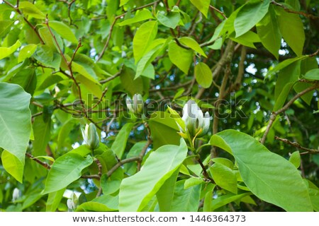 Magnolia Cucumbertree Flowers Stock photo © AlphaBaby