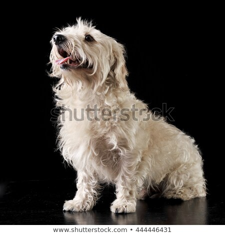 black and white mixed breed dog sitting in a dark photostudio stock photo © vauvau