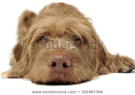 wired hair hungarian vizsla relaxing in a white photo studio stock photo © vauvau