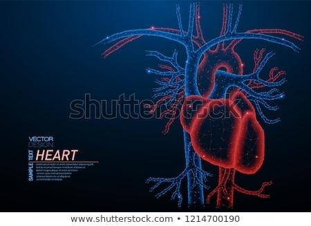 healthy artery and heart anatomy stock photo © tefi