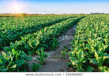 green field and sugar beet Stock photo © artjazz