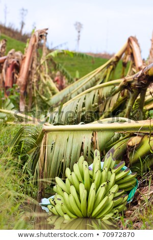 Banana plantation destroyed by tropical cyclone in Australia Stock photo © jaykayl